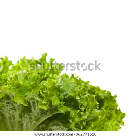Fresh Green Lettuce Salad Isolated. Selective focus.