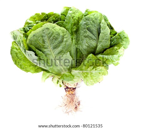 Fresh green Lettuce salad with root on white isolated background - stock photo