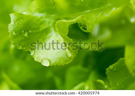 fresh green lettuce salad with water drop - stock photo
