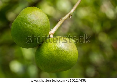Fresh green lime hanging on a lime tree.  - stock photo