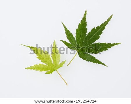 Fresh green Maple isolated in the white background