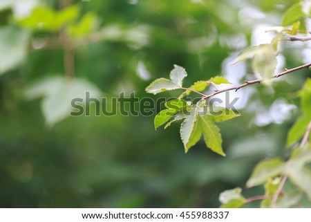 fresh green maple leaf