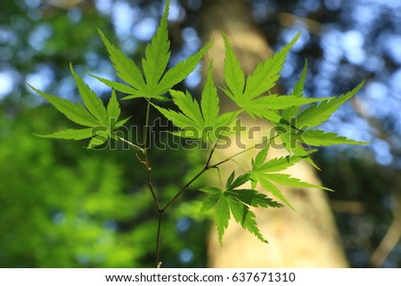 Fresh green maple leaves