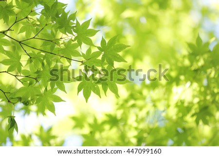 Fresh green maple leaves on the branch with daylight.