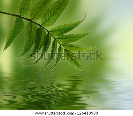 Fresh green maple leaves reflect in a water. - stock photo
