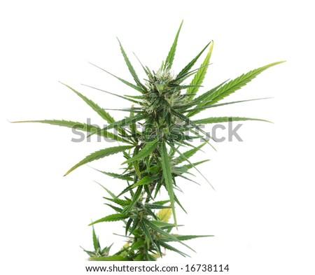 Fresh green marijuana isolated - stock photo