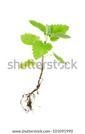 Fresh green melissa with root isolated on white - stock photo