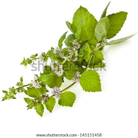 Fresh green mint flowering close up macro shot isolated on white background