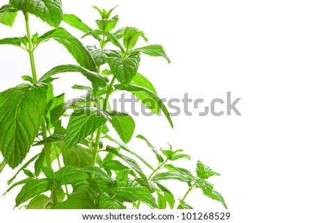 Fresh green Mint (Mentha) isolated on white background. Used in culinary as a flavouring. Also much used in medicine, are very popular in aromatherapy and cosmetic.