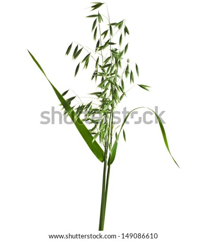 fresh green natural oat seeds close up isolated on white background - stock photo