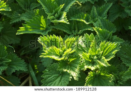 Fresh green nettle from the field lit by the morning sun - stock photo