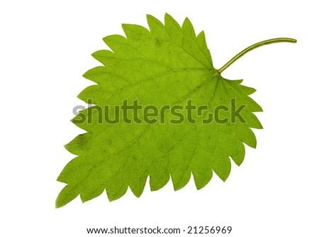 Fresh green nettle isolated on a white