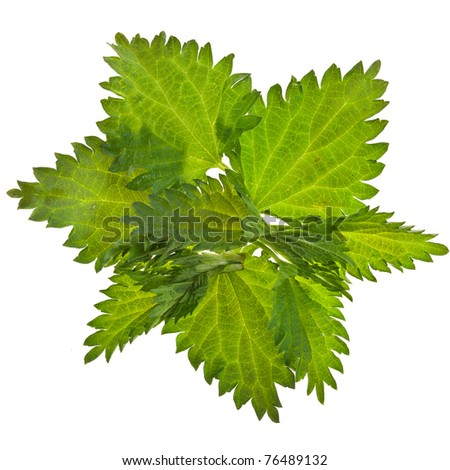 fresh  green nettle isolated on white background