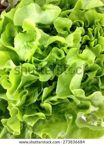 fresh green oak lettuce salad - stock photo