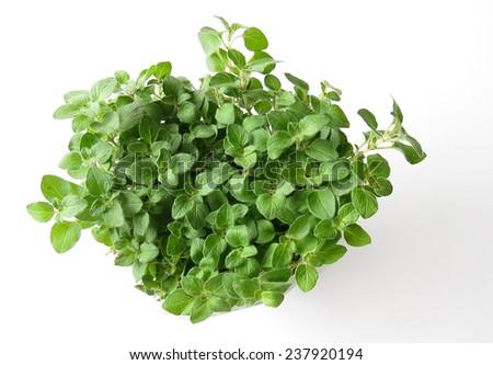 Fresh green oregano plant on white - stock photo