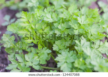fresh green parsley growing in a garden - stock photo