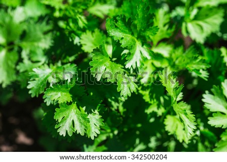 fresh green parsley growing in a garden - stock photo