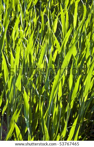 fresh green plant,corn on the field - stock photo