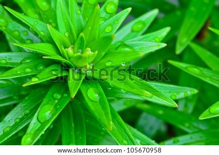 Fresh green plant foliage covered in rain drops. - stock photo