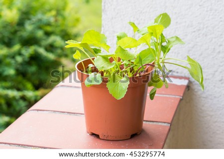 Fresh green radish plant in a plastic pot
