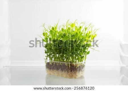 Fresh green raw sprouts in fridge - stock photo