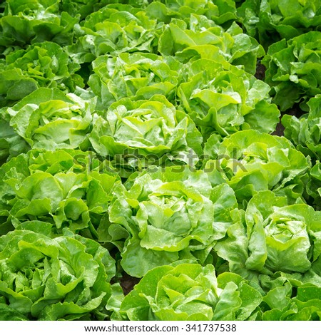 Fresh green salad, lettuce on a field - stock photo