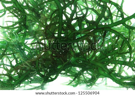 fresh green seaweed in the water isolated on white background - stock photo