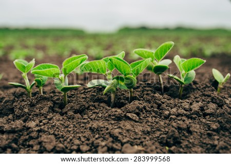 Fresh green soy plants on the field in spring, selective focus