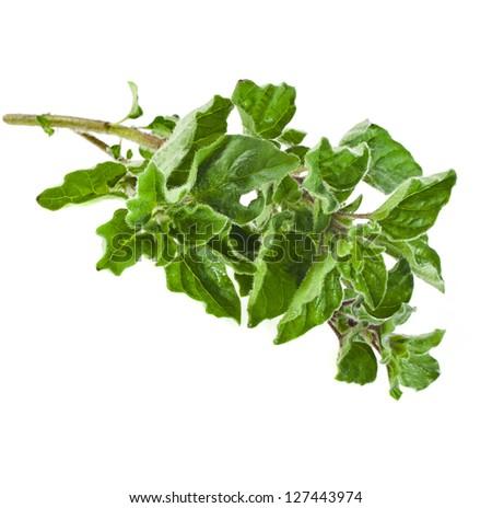 fresh green sprig oregano or marjoram (Origanum Vulgare L.)  isolated - stock photo