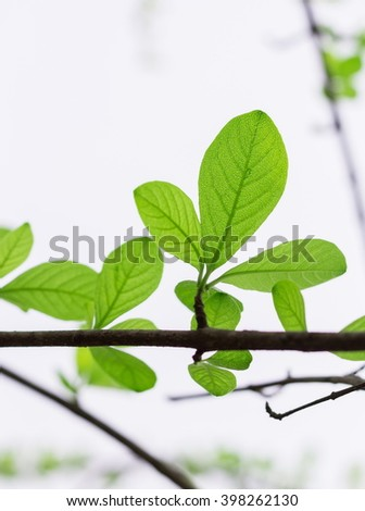 Fresh green spring leaves with translucent light coming through the leaves