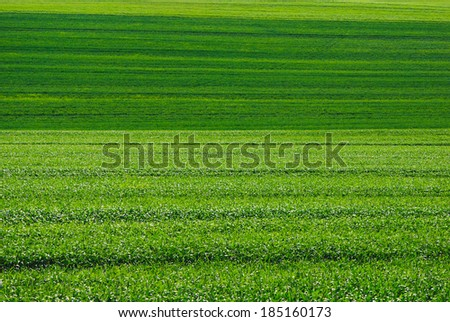 Fresh green sunny summer agricultural land corn plantation lines, the pantone color of the year 2017, Greenery 15-0343