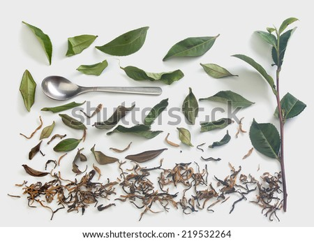 Fresh green tea branch, metal tea spoon and dried tea leaves on the gray background - stock photo
