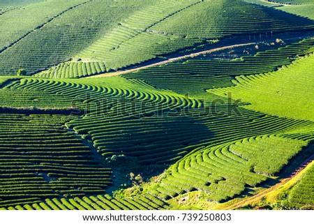 fresh green tea field in Moc Chau Highland, Vietnam