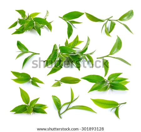 Fresh green tea leaf on white background - stock photo