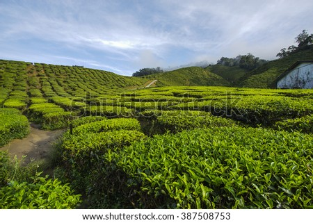 Fresh green tea plantation view near the mountain with beautiful blue sky at Cameron Highlands, Malaysia. Nature composition