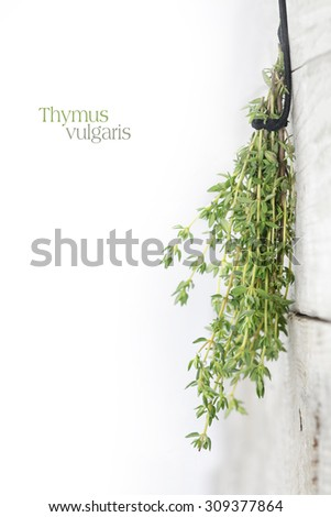 fresh green thyme, Thymus vulgaris, hanging to dry on a bright weathered wooden wall, background fade to white, copy space with sample text, selected focus, narrow depth of field