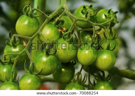 Fresh green tomatoes on the plant - stock photo