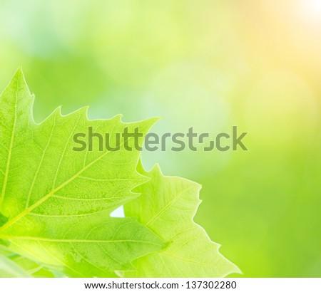 Fresh green tree leaves border on blurry background, closeup of maple leaf, freshness concept, spring season - stock photo