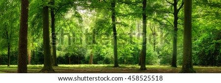 Fresh green trees in a beech forest with dreamy soft light, panorama format - stock photo