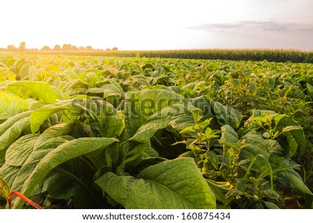 Fresh green vegetables sit ready and ripe for picking on an Amish Country Farm  - stock photo