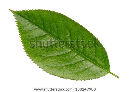 Fresh Green Vibrant Leaf Isolated on White - stock photo