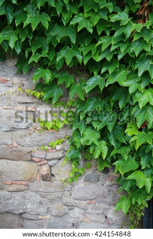 Fresh green wall of ivy leaves nature background - stock photo