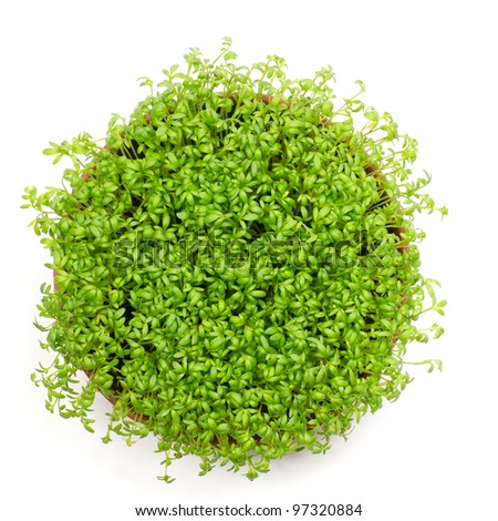Fresh green watercress in rounded pot, isolated on white - stock photo