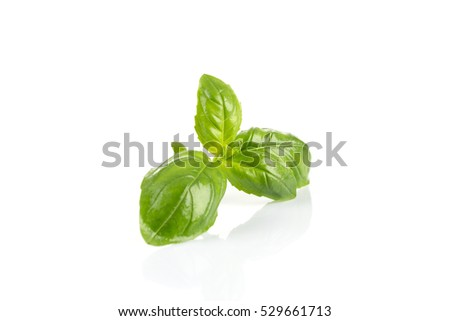 Fresh green wet leaf basil isolated on a white background