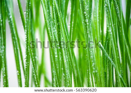 Fresh green wheat grass with dew drops, selective focus.