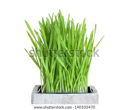 Fresh green wheatgrass growing in square pot, isolated on white.