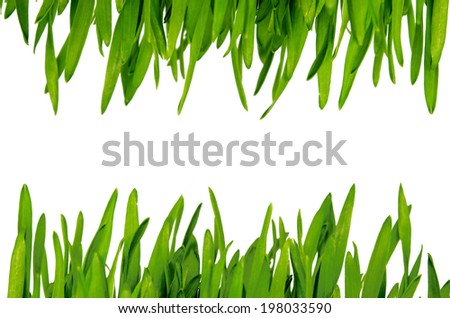 fresh green wheatgrass  isolated on white background. - stock photo