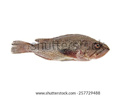 Fresh grouper in a white background - stock photo