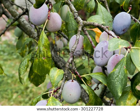 Fresh growing plums on the plum-tree. Mixed of ripe and unripe fruits. - stock photo