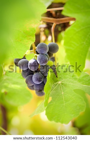 Fresh harvest of grapes. Vineyard theme with black grapes in vine leaves. Nature fruit concept. - stock photo
